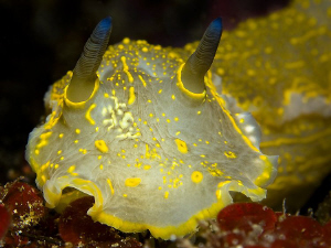 front side of a typical mediterranean nudibranch ( Hypsel... by Roland Bach