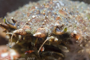 Spiny spider crab. Trefor pier. D3, 60mm. by Derek Haslam