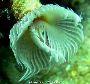 Sabellidae (feather duster worm) by Andres L-M_larraz