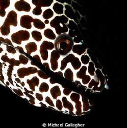 Honeycomb moray eel portrait - shot taken in the Maldives by Michael Gallagher