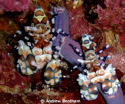 Harlequin Shrimps at Richelieu Rock at about 15m by Andrew Bentham