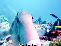 The Trigger fish by Eric Walker