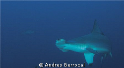 hammerhead great opportunities cocos island, costa rica by Andres Berrocal