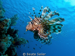 Lionfish at El Quadim , taken with Canon G10 by Beate Seiler