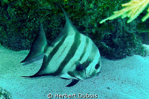 Spadefish (image cropped) by Herbert Dubois
