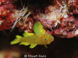 Golden Green Goby by Stuart Ganz