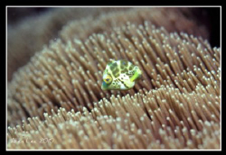 Cute filefish.Nikon F100,105mm,f11,1/60,YS-120,RVP100. by Allen Lee