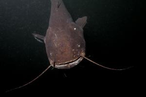 catfish who laughed at me :) :) by Veronika Matějková