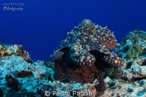 2 Ocpotus Making Love Nikon D80 with 15mm lens, Two stro... by Pedro Padilla