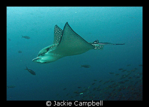 Eagle ray at Darwin Arch, Galapagos.....canon ixus 700, mwb by Jackie Campbell