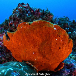 Commersons frogfish, Cocos Island, off the coast of Costa... by Michael Gallagher