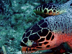 A sea Turtle by Eric Walker