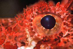 """""""Scorpion Fish-Eye"""" Taken in Sodwana Bay, South Africa. by Brian Welman"""