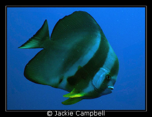 Batfish portrait......