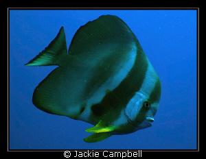 Batfish portrait...... Canon Ixus 980 and inon fisheye l... by Jackie Campbell