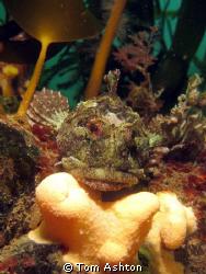 A friendly scorpion fish at Nestends gully, Eyemouth. Ca... by Tom Ashton