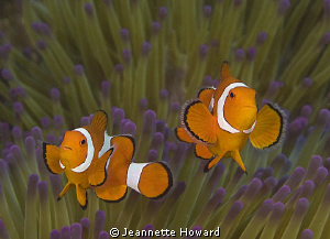 Clown Fish in Raja Ampat, Indonesia  Nikon D90 by Jeannette Howard