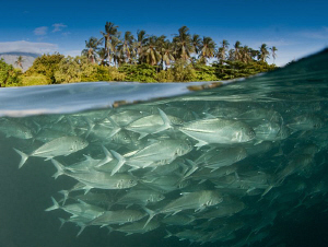 School of jacks above the Liberty wreck. by Charles Wright