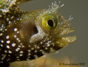 Portrait of a Secretary Blenny-Bonaire by Richard Goluch