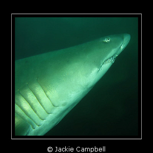 One of my first underwater photos. Grey nurse shark at th... by Jackie Campbell