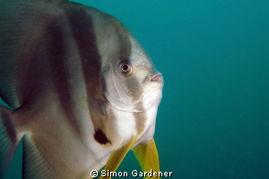 portrait of a spadfish (platax orbicularis ) shot with Ni... by Simon Gardener
