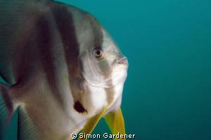 portrait of a spadfish (platax orbicularis ) shot with Ni... by Simon Gardener