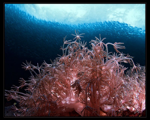 """""""Octocorals and Sardines""""  seen at the wonderful Pescad... by Henry Jager"""