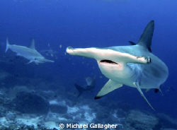 Hammerheads lining up for a closer look at all the divers... by Michael Gallagher