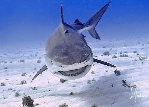 While diving with 5 Tiger Sharks it is very important tha... by Steven Anderson