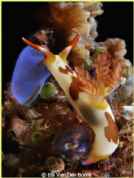 Eating nudibranch by Els Van Den Borre