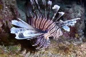 Lionfish, Grand Cayman.  Unfortunately, very healthy spec... by Patrick Reardon