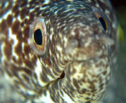 Spotted eel's portrait ... by Durand Gerald
