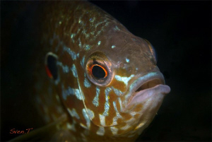 A curious pumpkinseed by Sven Tramaux
