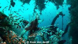 LIONfish prepares to pounce! by Russ Van Aardt