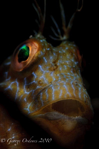 Night dive at Blue Heron Bridge  Blenny shot with d300 1... by George Ordenes