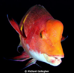 Mexican Hogfish, Cocos Island - shot taken with Tokina 10... by Michael Gallagher