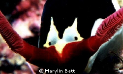 The EYE'S have it, 1:1 face shot of Nembrotha Nudi.  Atla... by Marylin Batt