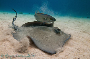 Sting ray and jack shot with a magic filter.
