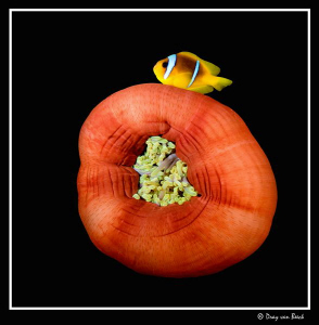 Red anemone and anemone fish XV. Less is more... by Dray Van Beeck