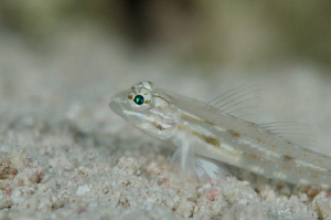 Close up of a skittish little goby on the sand at Sunset ... by Paul Colley