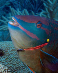Goby cleaning a Stoplight Parrotfish by Susan Beerman