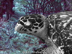 Turtle by Eric Walker