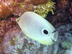 Four Eyed Butterfly - Natural light by Herbert Dubois
