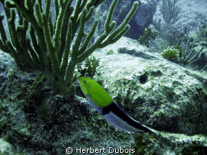 Yellow Headed Wrasse - Natural light by Herbert Dubois
