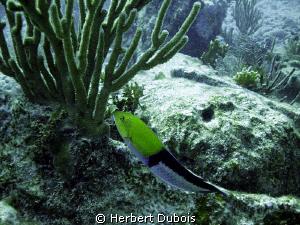 Yellow Headed Wrasse - Natural light by Herbert Dubois