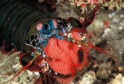 """Gaurding her Treasure"" Peacock Mantis Shrimp with eggs ... by Brian Welman"