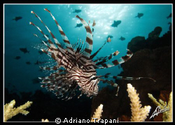 lionfish used to be one of my favorite subjects, then I k... by Adriano Trapani