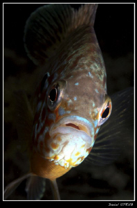 this pumikinseed sunfish was preparing his nest and fough... by Daniel Strub