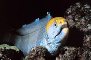 Yellowhead Moray Eel taken off the Big Island of Hawaii w... by John H. Fields