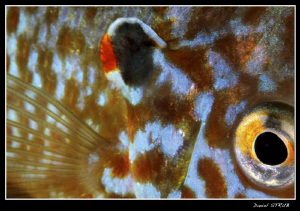 Close-up of a pumkinseed sunfish - abstract - just love t... by Daniel Strub